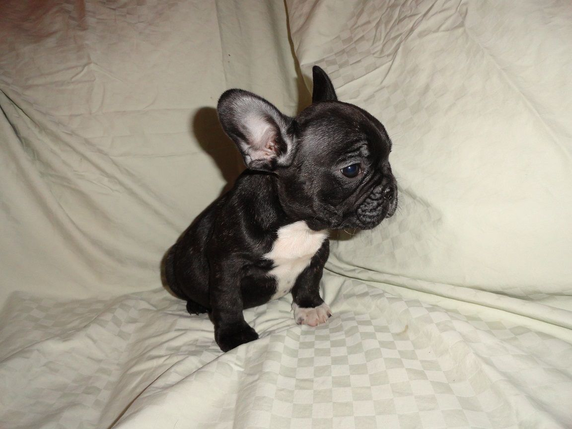 French Bulldog Long Island For Sale