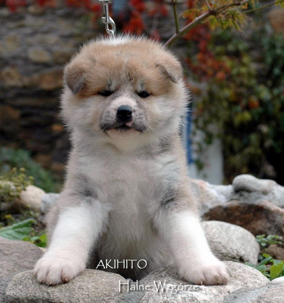 Akita+Breeders Halne Wzgorze - Puppies for Sale