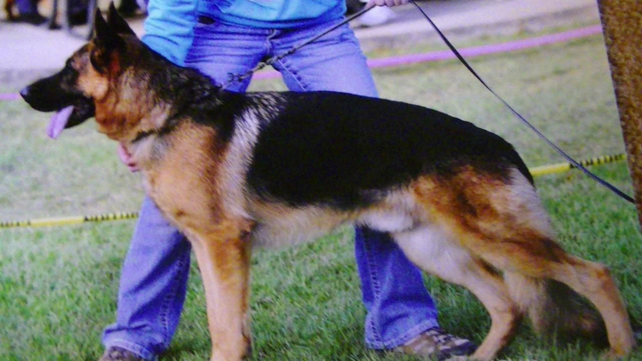 dach haus german shepherd dog breeder foley missouri. Black Bedroom Furniture Sets. Home Design Ideas
